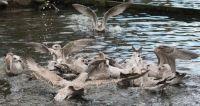 Greedy Gulls!