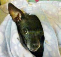 My rescue Chihuahua, Megan
