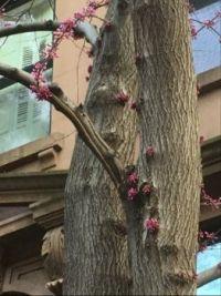 Redbud tree trunk
