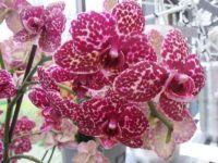 Orchideje ve skleníku...  Orchids in the greenhouse ...
