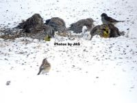 Meadowlarks in Winter