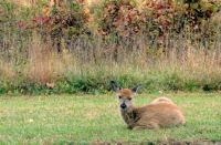 A yearling fawn momentarily relaxes in the field.