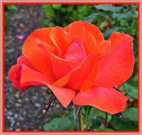 Rose Petals in Red.