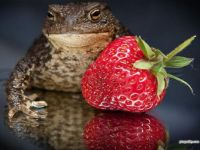 Strawberry Toad