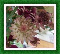 Detail z kytice - Jarmanka - Astrantia / Detail of a Bouquet - Astrantia - also known as Hattie's pincushion or masterwort