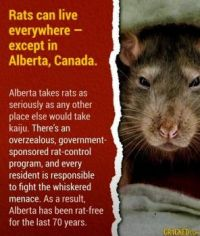 16 Random Facts You Never Know When You Might Need - rats in Alberta, Canada