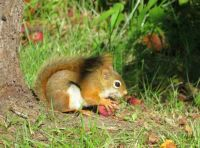 Red Squirrel Having a Snack