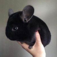 This is one adorable chinchilla...