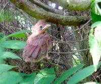Baby cardinal 2