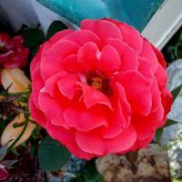 A Friends Rose