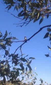 Willy Wagtail in the old Gum Tree in camp