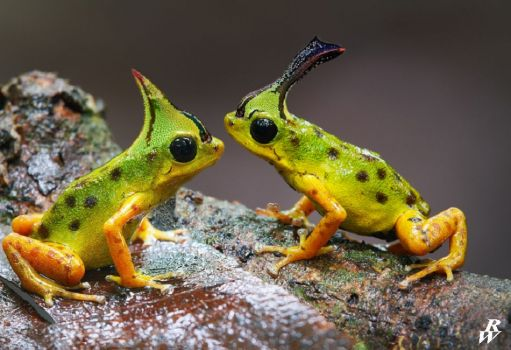 Thorn Frogs