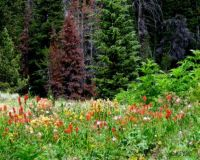Rocky Mountain wildflowers.  Easy