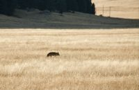 COYOTE AT VALLES CALDERA NATIONAL PRESERVE - NM