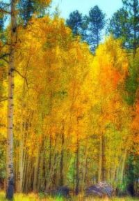 Glorious Aspens by Michael in San Diego