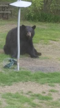 Brown bear - my back yard - Connecticut