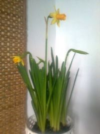 Narcis  -  Narcissus