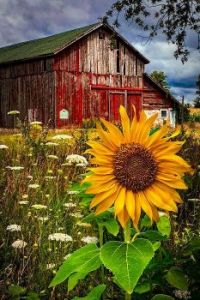 THE sunflower of the day