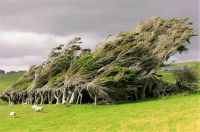 THEME ~ Flowers/Trees .....  Trees Permanently Bent by Wind ~ New Zealand