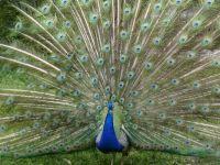 Whole peacock display