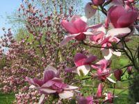 cvetoča magnolija