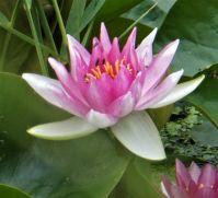 Waterlily / Waterlelie