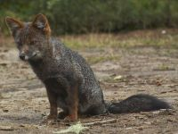 Darwin's fox or Darwin's Zorro (Lycalopex fulvipes) by chiloe_destino_sustentable