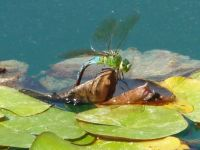 Dragonfly on pond