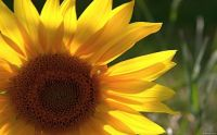 Sunflower(4)
