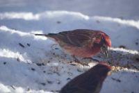 Winter feeder visitor