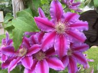 Dr. Rupple Clematis
