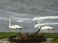 Mr & Mrs Swan