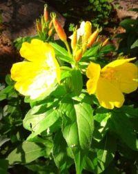 Pretty little Sundrops