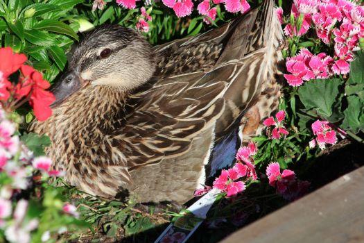 Female Mallard Nesting
