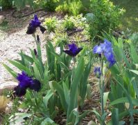 Irises - harbinger of Spring