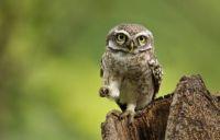 Spotted Owlet by Nisha Purushothaman