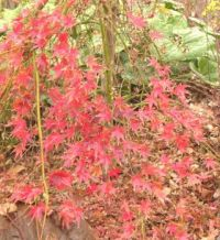 A very pretty Japanese red maple challenge - can you do it??