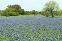 bluebonnets by Greg Lavaty