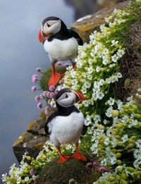 Atlantic Puffins (Fratercula arctica) in Iceland