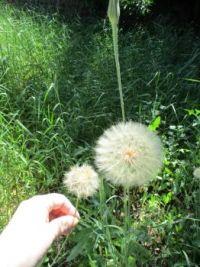 Puff balls in my yard