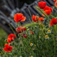 Poppy field in Spain Adam Weatherly