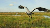 Cranes have been absent as a breeding bird in Ireland for more than 300 years.