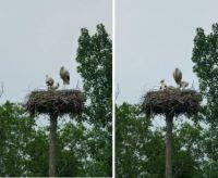 Vondelpark storks update #2: three thriving young ones :-)))