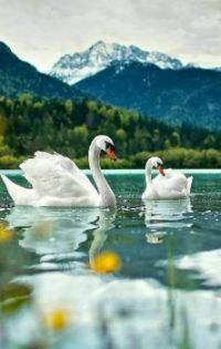 Swans are so beautiful