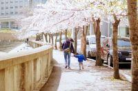 under the cherry blossom.JPG