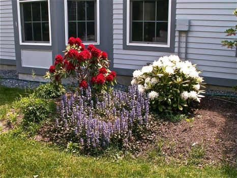 Red, White & Blue, Rhodies and Ajuga