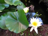 Water Lili