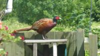 Mr Pheasant - visiting the cat-stand...