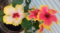 Mum's hibiscus 3
