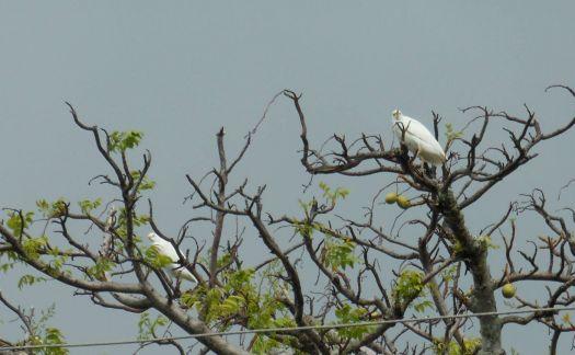 pair of egrets